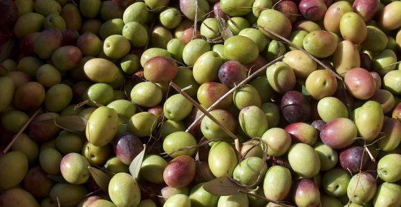 Olives de Toscane